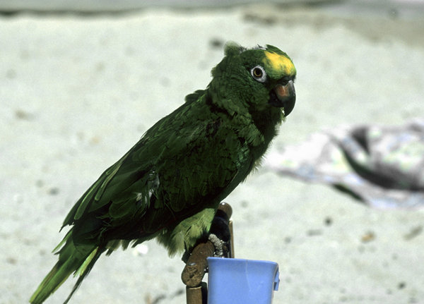 Parrot: Green parrot at the beach