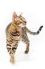 Bengal Cat attentive looking: Bengal Cat walking towards Viewer, attentive looking, on white Background
