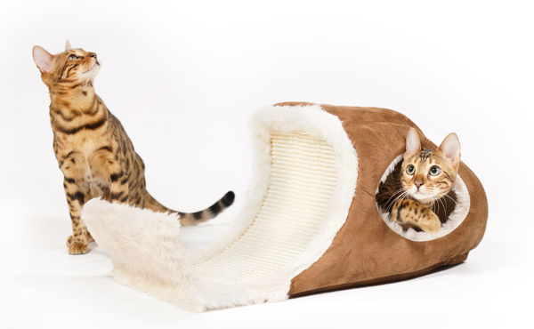 Bengal Cat playing in Playcave: Bengal Cat playing in a Cat Toy, on white Background