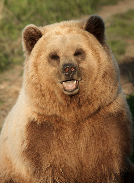 Brown Bear Portrait: Brown Bear standing up looking at Camera