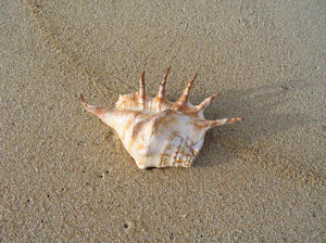 shell on a rim of sand: sea shells on the beach at Mangalore, India. (the shell's originally from kanyakumari, the southern most point of India). ( STROMBIDAE )