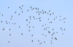 Flock of Whistling Teals: Flock of Whistling Teals at Pakshikere, Karkala, India.
