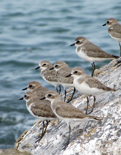 Flock of birds: Flock of Kentish Plovers
