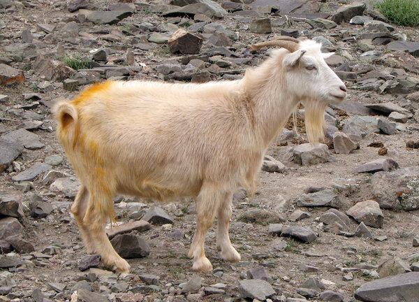 Domesticated Wild Goat: A domesticated wild goat at Rhumbak, the heart of the Snow Leopard territory at Hemis National Park.