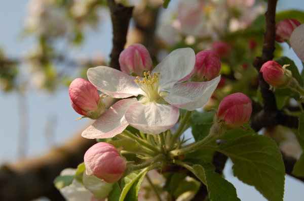 Apple blossom: Apple blossom