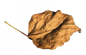 brown leaf: none