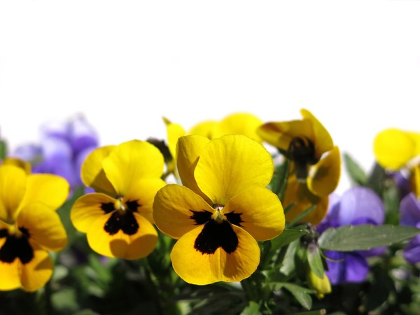 pansies on white: none