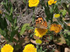 Painted lady: A painted lady butterfly (Cynthia cardui) on a Compositae flower in Sardinia.