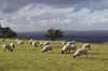 Winter sheep: Sheep in February on the South Downs, West Sussex, England. In the background are winter flood meadows.
