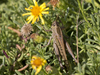 Grasshopper: An unidentified grasshopper on a nature reserve in Majorca, Balearic Islands, Spain.