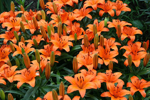 Orange lilies: Orange lilies in a garden in southern Norway.