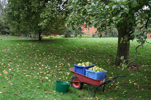 Windfall apples: Collecting windfall apples (Malus) in an orchard in England in the autumn.