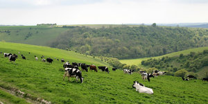 Cow meadow: Cows in a meadow on the South Downs, West Sussex, England.