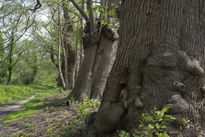 Ancient trees: A line of ancient sweet chestnut (Castanea) trees in West Sussex, England.