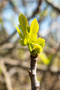 Fresh leaves: Fresh fig leaves in spring in southern Greece.