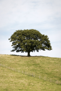 Lonely tree: An isolated tree in the Surrey Hills, England.