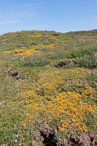 Gorse flowers: Thickly clustered bushes of gorse (Ulex) in flower in Cornwall, England, in spring.