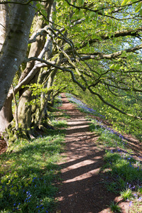 Woodland path in spring: A footpath through spring woodland at Coney's Castle, Dorset, England. Photography on this National Trust land is freely permitted.