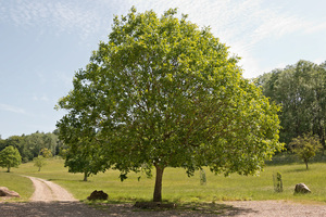 Parkland with walnut tree: A walnut (Juglans) tree in parkland in southern England.