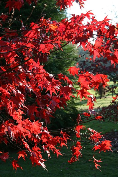 Red Acer leaves: Red leaves of an ornamental Acer tree growing in a garden in West Sussex, England, in autumn.