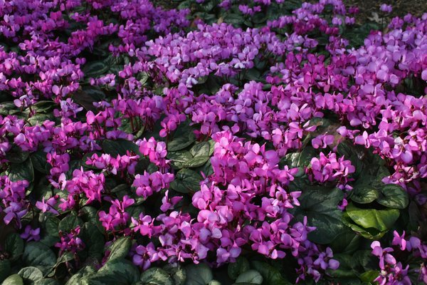 Free Stock Photos Rgbstock Free Stock Images Cyclamen Flowers