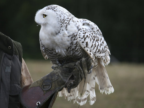 Snowy owl: Female captive-reared Snowy owl (Nyctea scandiaca) on a falconer's gauntlet.