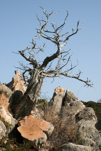 Parched: A dead tree on a dry rocky hillside in Sardinia.
