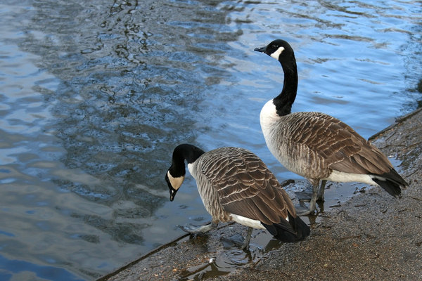 Hesitation: Two Canada geese (Branta canadensis) testing out a pond in a park in West Sussex, England.