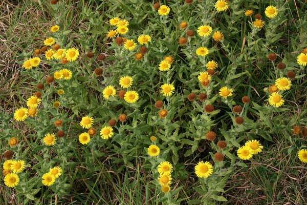 Fleabane: Fleabane (Pulicaria dysenterica), a wild flower growing in West Sussex, England.