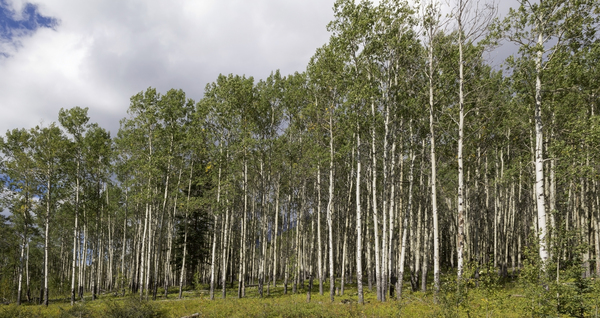 Aspen trees: Aspen (Populus) forest in the Rocky Mountains, Canada. Two shot photomerge.