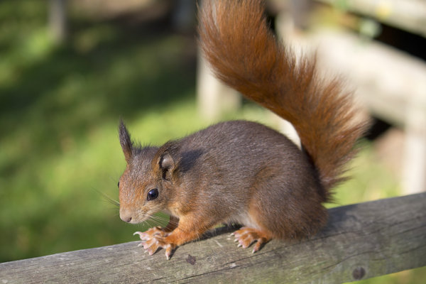 Red squirrel: A British red squirrel (Sciurus vulgaris).