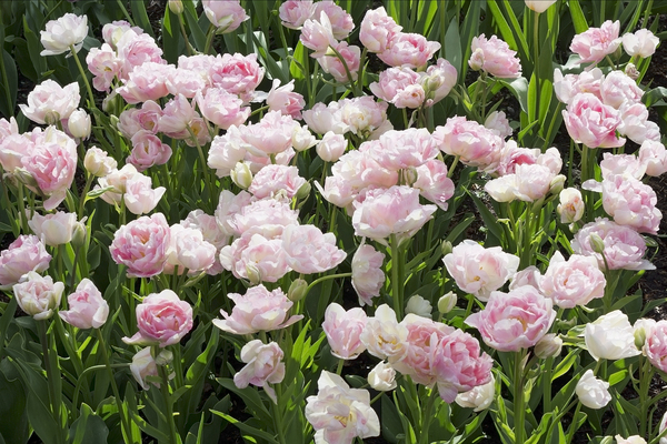 Double tulips: Pink double tulips in a garden in England.
