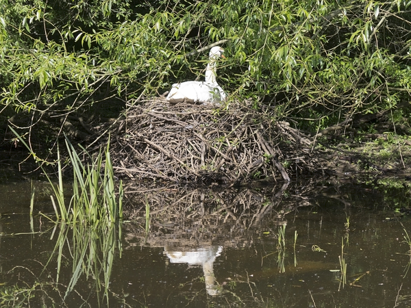 Nesting swan: A swan nesting on a disused canal in West Sussex, England.