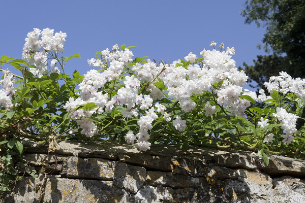 Rambling roses: Rambling roses on an old wall in a village in Wiltshire, England.