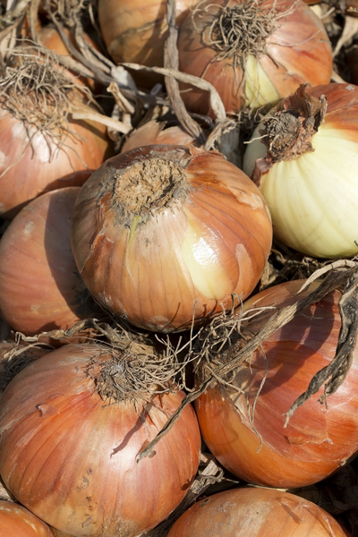 Onion harvest: A fine crop of onions from an allotment in England.