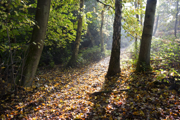 Forest sunlight: A forest trail in late afternoon sunlight in West Sussex, England, in autumn.