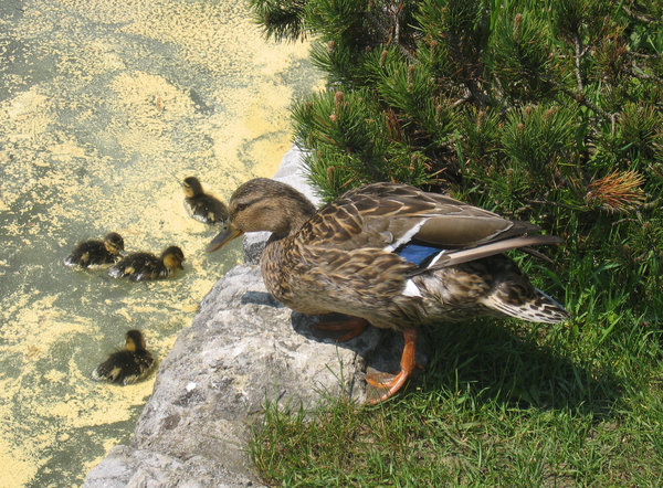 duck and ducklings: none