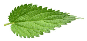 Nettle leaf: A leaf cutout.Please comment this shot or mail me if you found it useful. Just to let me know!I would be extremely happy to see the final work even if you think it is nothing special! For me it is (and for my portfolio).