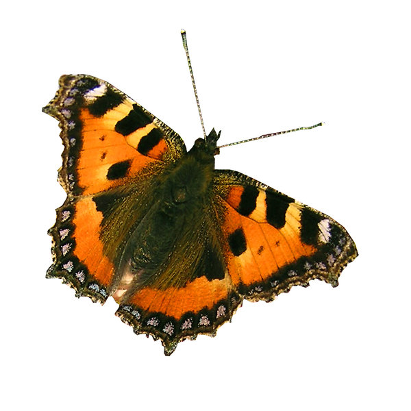 Schmetterling: