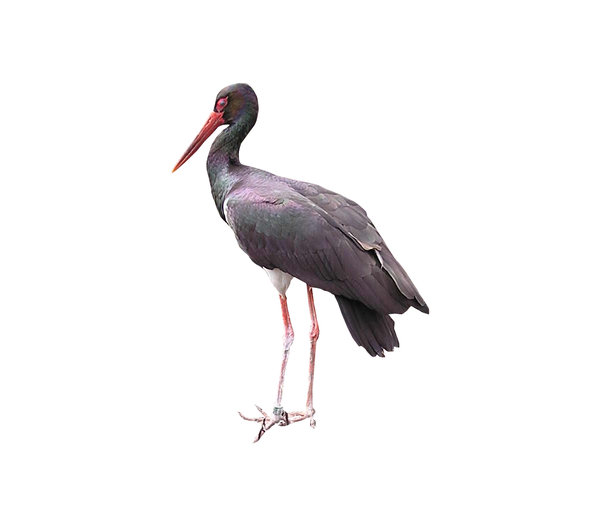 Black stork: A rare black stork, spotted in Kadzidlowo, Poland.Please mail me or commemt this photo if you found it useful. Thanks.