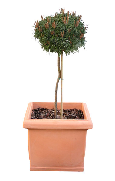 A plant: A tree in a  flowerpot.