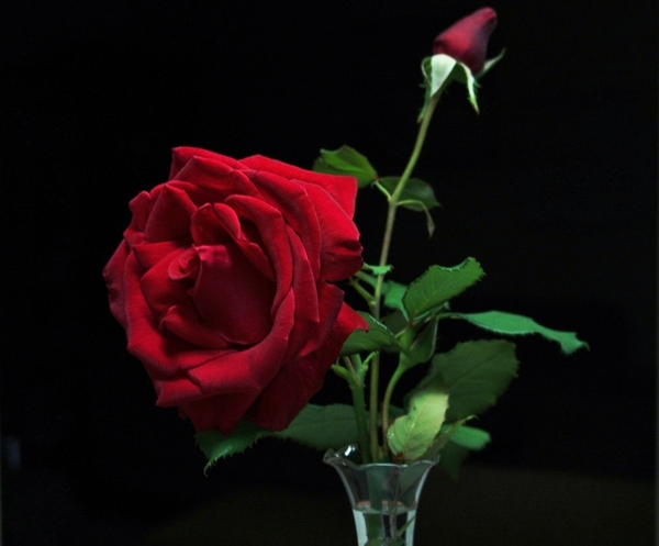 Red Rose: This rose is called Seductive Red and the petals have a look of velvet. Makes a great card image.