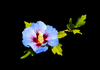 Blue Flower on black: Hibiscus Syriacus - A 5 year wait and it has just flowered