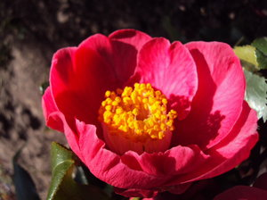 Rich Red Camillias: The first rich red flowers of my new camellia