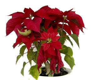poinsettia christmas 1: little shot of poinsettia