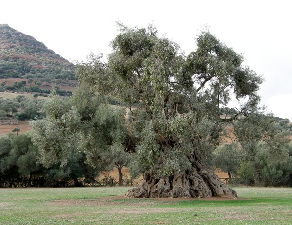 The Queen 1: ancient olive in ortumannu sardinia