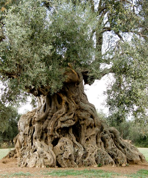 The Queen 3: ancient olive in ortumannu sardinia
