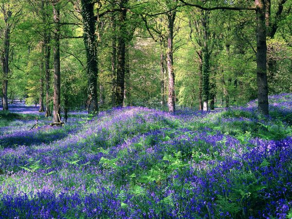 Bluebells: Bluebells in a forest