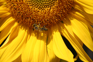busy bee: busy bee on sunflower