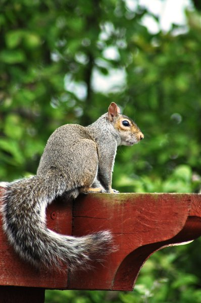 Grey squirrel: Grey squirrel eating my bird's peanuts.